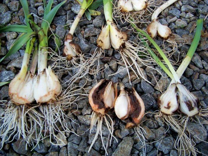 Луковицы, поврежденные мухой, становятся более мягкими, начинают гнить и неприятно пахнуть / Фото: ro.pinterest.com