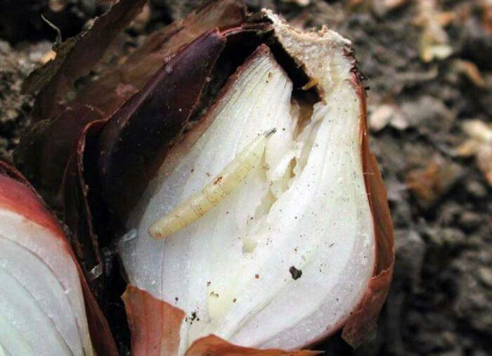 Именно в луковице и развиваются личинки, которая становится для них и домом, и пищей / Фото: placepic.ru
