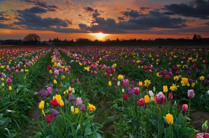 Вредитель способен нанести вред и другим растениям на огороде – салатам, лилиям, тюльпанам, чесноку / Фото: blog.i.ua