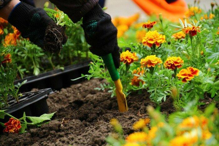 Запутать луковую муху способны рядом высаженные сильно пахнущие цветы типа бархатцев / Фото: legkovmeste.ru