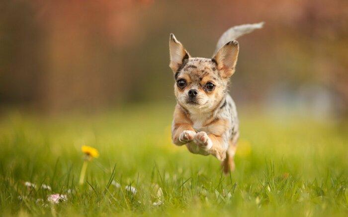 В разряд достоинств мелких пород собак входят агрессивность, а также практически неиссякаемая энергия / Фото: krasivosti.pro