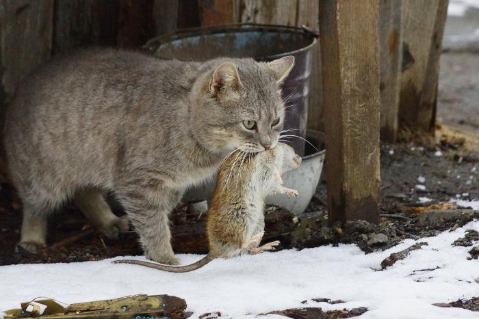 В данной области первенство остается за кошками, так как у них на генетическом уровне заложено, что грызуны – их враги / Фото: natalyland.ru