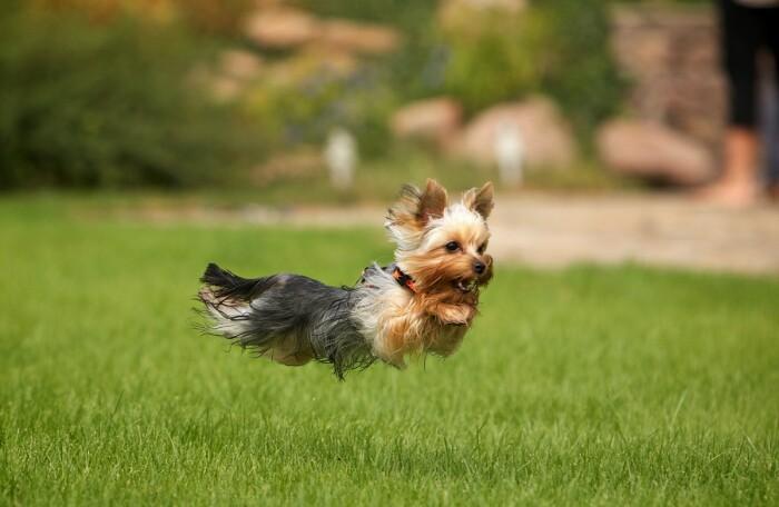 Мелкие породы собак являются отличными охотниками, только на грызунов, а именно на крыс / Фото: moi-zhivotnye.ru