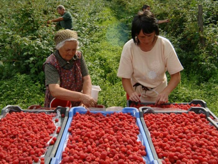 Соблюдая все правила, можно рассчитывать на богатый урожай ягод / Фото: vecernji.ba