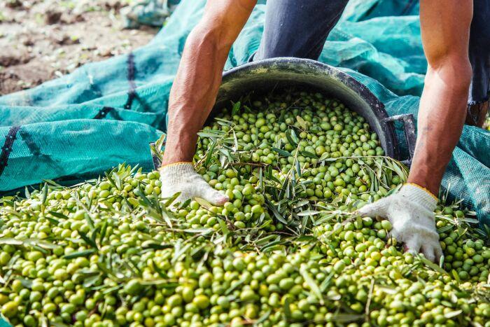 Для дальнейшей обработки кислородом собирают неспелые зеленые плоды / Фото: wafyapp.com