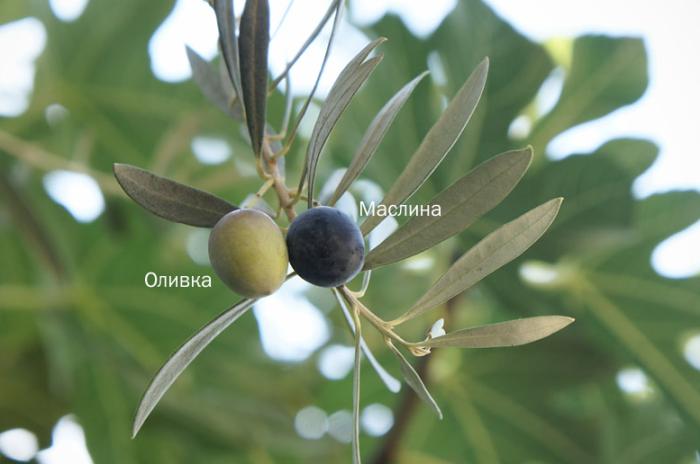 Оливки и маслины являются плодами одного дерева / Фото: mrfilin.com