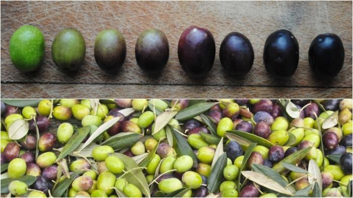 Цвет плода оливы отличается от степени зрелости и способа обработки / Фото: mrfilin.com