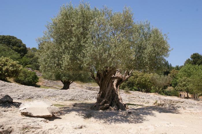 Олива - это масличное вечнозеленое дерево со средней продолжительностью жизни в несколько столетий / Фото: blog-travushka.ru