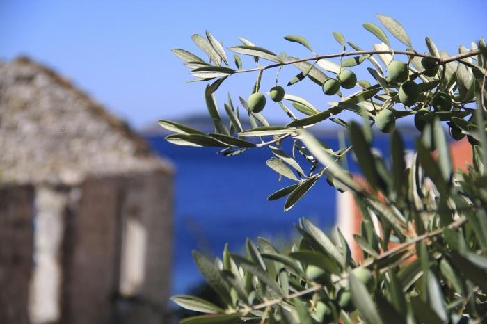 К почве дерево абсолютно не требовательно, поэтому часто оливу высаживают вблизи моря / Фото: pxhere.com