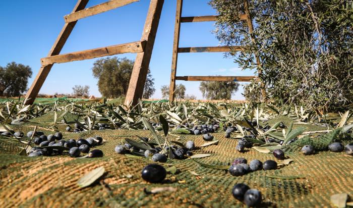 Чем спелее оливки, тем они хуже хранятся, а производителям это невыгодно / Фото: foodandhealth.ru