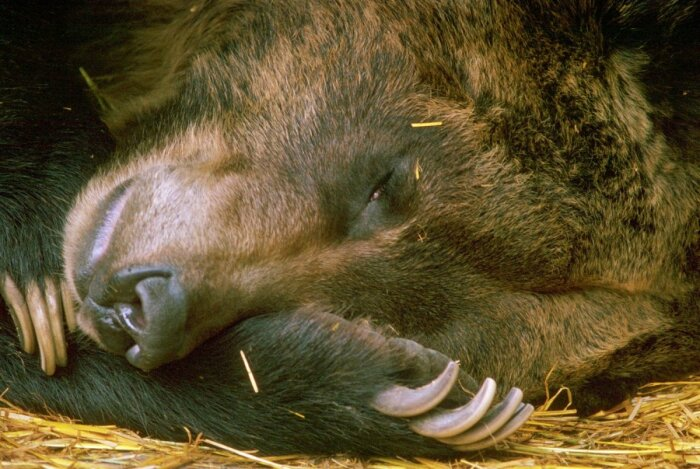 Когда медведь спит, пульс его падает до девяти ударов в минуту, метаболические процессы тоже значительно снижаются – на 53 % / Фото: oir.mobi