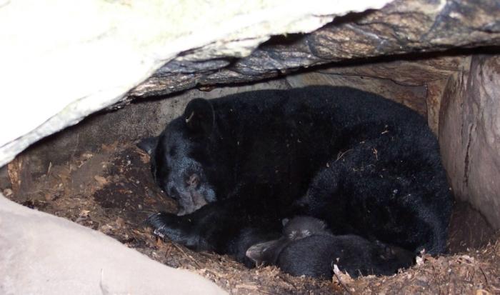 Что интересно, так это то, что самки могут во сне даже медвежат родить / Фото: attuale.ru