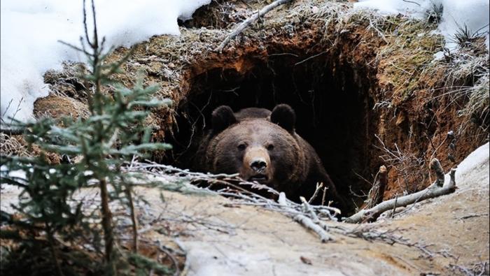 После пробуждения первым делом медведь очищает кишечник, нередко не отходя далеко от своей берлоги / Фото: severpost.ru