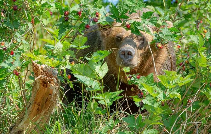 Биологи Барселонского университета считают, что в плазме медведя вырабатывается очень мощный ингибитор, который пока еще выявить не удалось / Фото: moscow-oblast.sm-news.ru