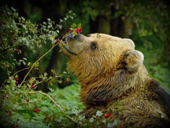 Рацион медведя в большинстве своем составляет пища растительного происхождения в виде стеблей и корней растений, всевозможных ягод, орехов / Фото: travelask.ru