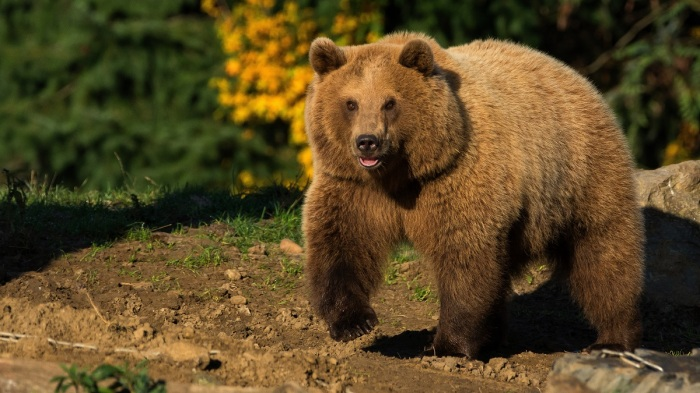 В зимний период потеря массы медведя составляет восемьдесят килограммов / Фото: wallbox.ru