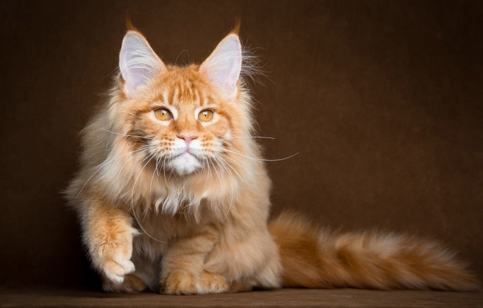 Мейн-кун – красавец-кот больших размеров с красивыми кисточками на ушках и шикарной шубой / Фото: goodfon.ru