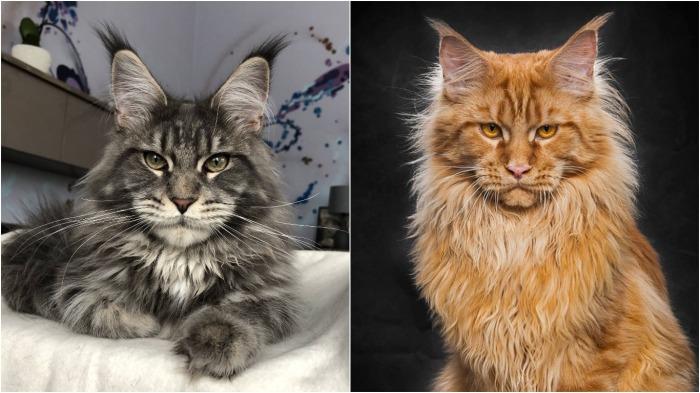 У этого шикарного кота все гармонично, даже глаза с шерстью имеют одинаковый оттенок / Фото: natalyland.ru