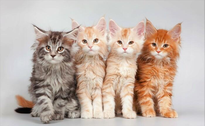 Эти шикарные коты нередко около хвоста могут иметь отчетливые полоски, цвет на которых отличается от основного – енотовый ген / Фото: zastavki.com