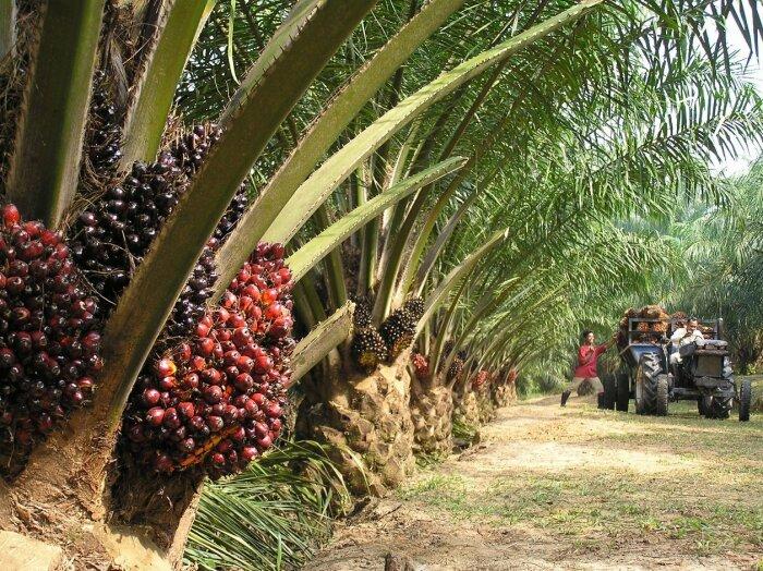 Пальмовое масло получают из плодов особой масличной пальмы / Фото: facte.ru