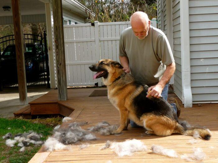 Линька у немецких овчарок - зрелище не для слабонервных, их шерсть повсеместно / Фото: Pinterest