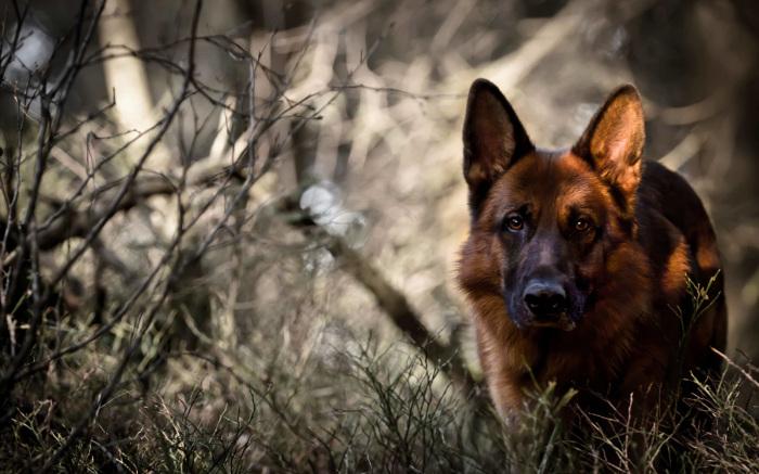 У каждой собаки, как впрочем, и у людей, первые признаки старости проявляются в разном возрасте / Фото: nekusaka.com