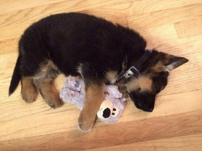 Маленькие щенки с удовольствием приватизируют понравившуюся вещь / Фото: aminoapps.com