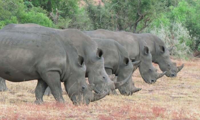 Так как носорогов слишком мало, возникает стандартная проблема под названием инбридинг / Фото: newslocker.com