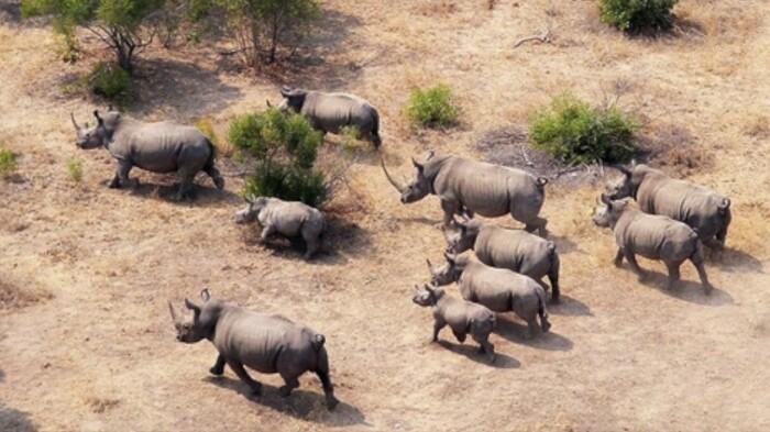 Чтобы исключить скрещивание между особями, имеющими близкое родство, носорогов из одной стаи перевозят в другую / Фото: YouTube