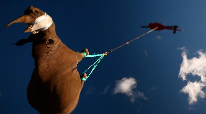 Транспортировка вниз головой - единственный безопасный способ для животного / Фото: blog.stanis.ru