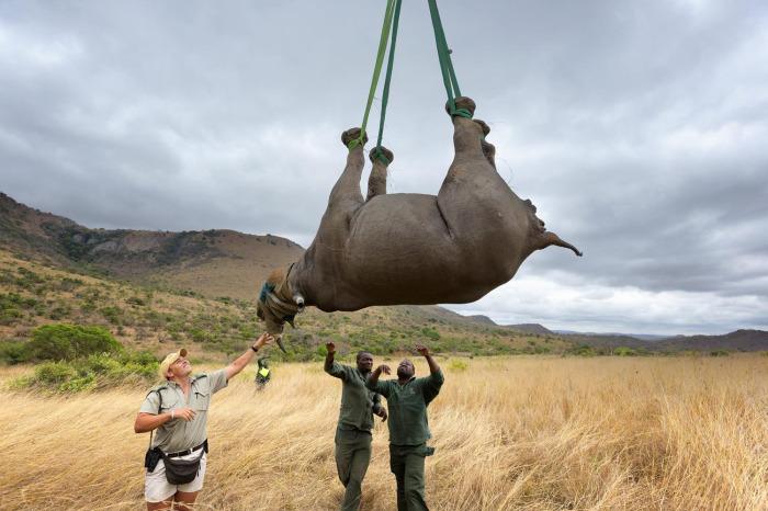 В ходе исследований ученые выяснили, что наиболее подходящий вариант – это прицепить животное к вертолету вниз головой / Фото: tourister.ru
