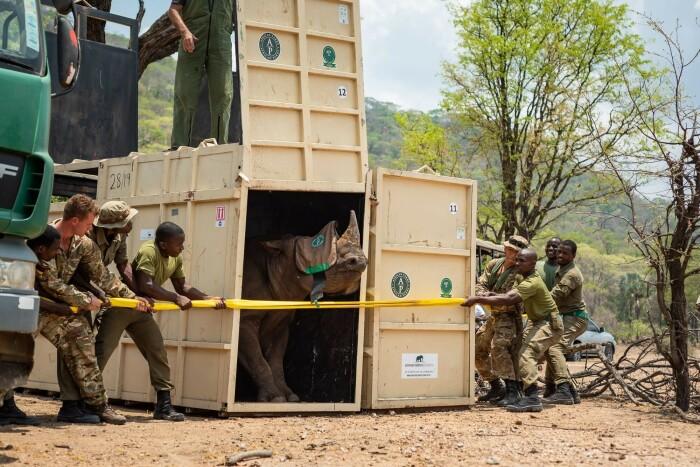 При транспортировке в специальных ящиках в лежачем положении у носорогов страдал мышечный каркас / Фото: 123ru.net
