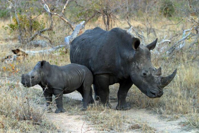 На текущий момент ситуация с численностью черных носорогов критична – численность популяции снизилась до минимальных показателей / Фото: dogcatdog.ru