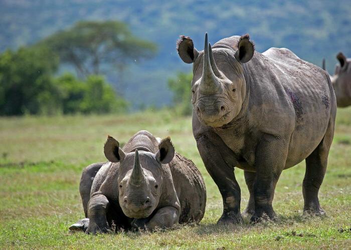 По размерам черные носороги поменьше своих белых сородичей, но маленькими их тоже не назовешь / Фото: pixels.com