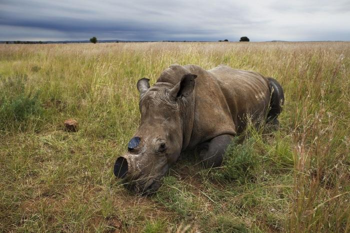 Браконьерам интересны именно рога носорогов, которые в восточной медицине имеют особую ценность / Фото: nevsedoma.com.ua