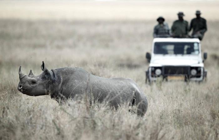 Браконьеры есть везде, на этом континенте их тоже предостаточно и цель их зачастую именно носороги / Фото: news.myseldon.com