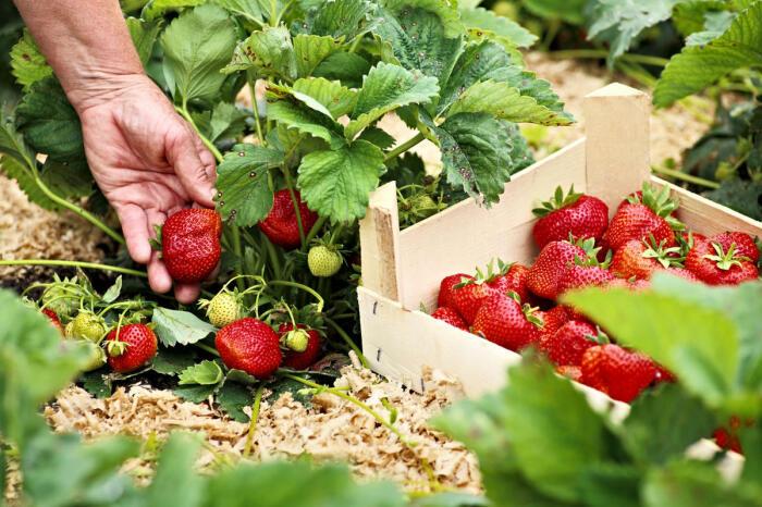 Чтобы собрать богатый урожай клубники, следует избегать одной ошибки / Фото: 7dach.ru