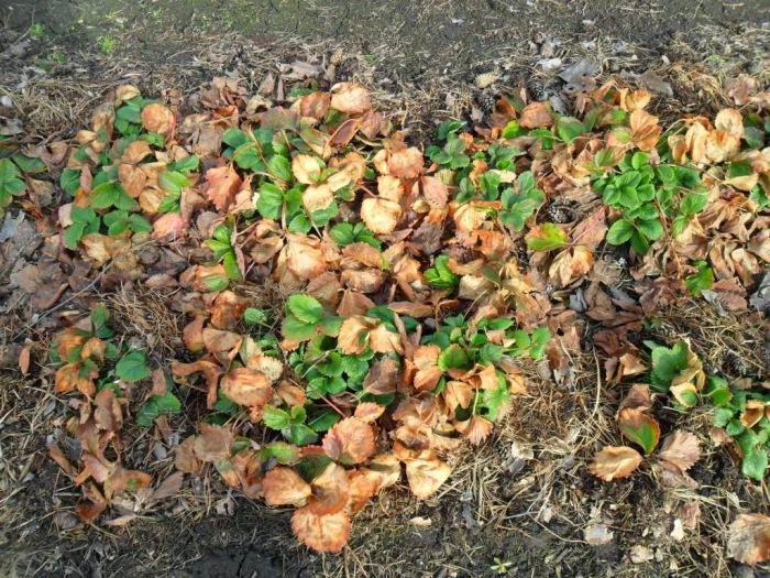 Даже неопытные дачники понимают, что прошлогоднюю листву с грядки с клубникой следует убрать / Фото: sadogorod25.ru