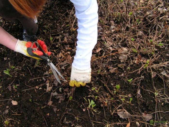 Прежде чем листья убрать, важно всю грядку обработать противогрибковыми препаратами и инсектицидами / Фото: otomatah.ru