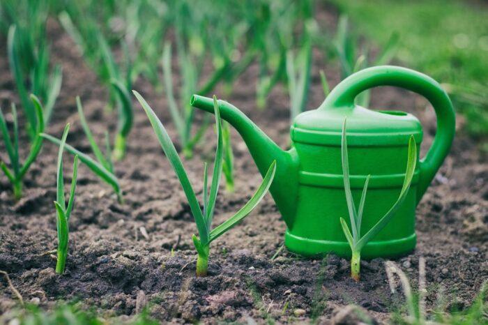 Первый раз чеснок следует подкармливать,как только наступят весенние теплые дни, а земля слегка прогреется / Фото: fermoved.ru