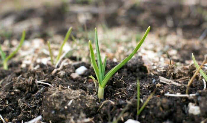 Первые всходы чеснока нуждаются в азоте и фосфоре / Фото: yandex.ru
