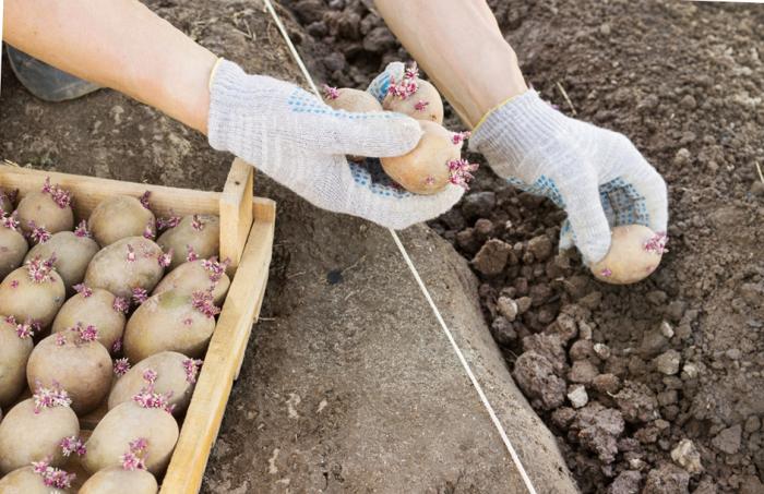 Чем подкормить картофель, чтобы клубни выросли «с кулак»