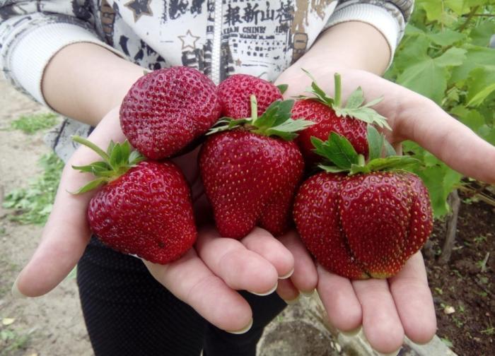 Размер ягод после этой подкормки значительно увеличивается - в полтора-два раза / Фото: ok.ru