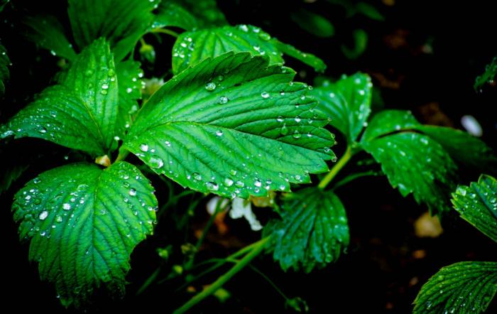 После обработки на листьях клубники появляется пленка, которая и защищает их от всевозможных вредителей и болезней / Фото: rasfokus.ru