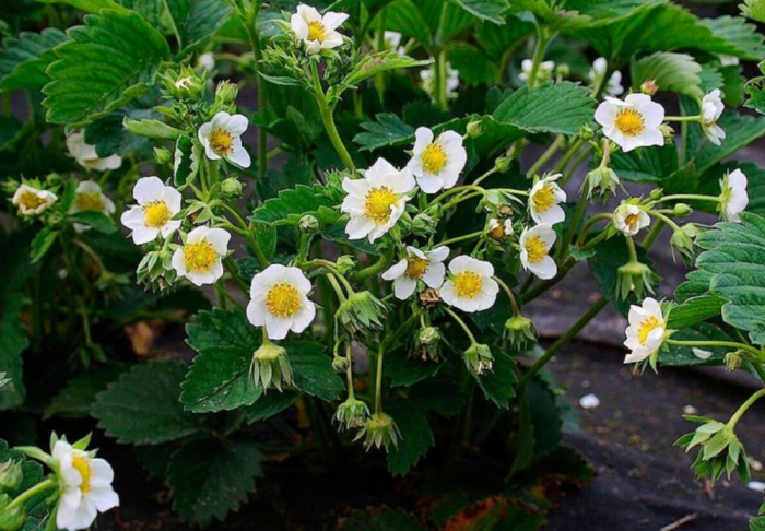 Подкормка кисломолочными продуктами обеспечивает обильное цветение клубники и хороший урожай крупных ягод / Фото: ok.ru