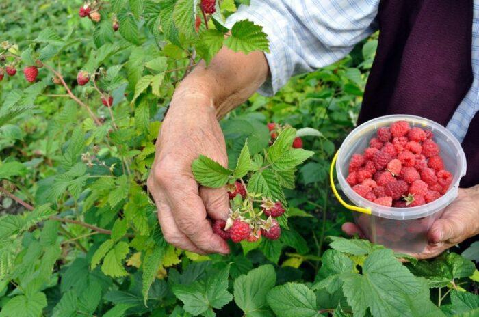 Чтобы ягоды были сладкими, понадобится третья подкормка, правда, уже без нашатыря / Фото: фазенда.рф