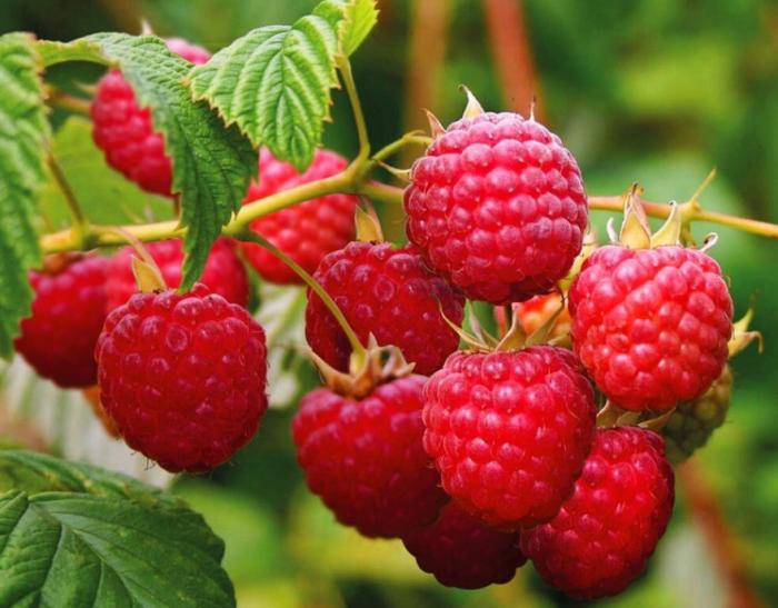 Чтобы повысить урожайность малины, существует простое и доступное средство / Фото: ok.ru