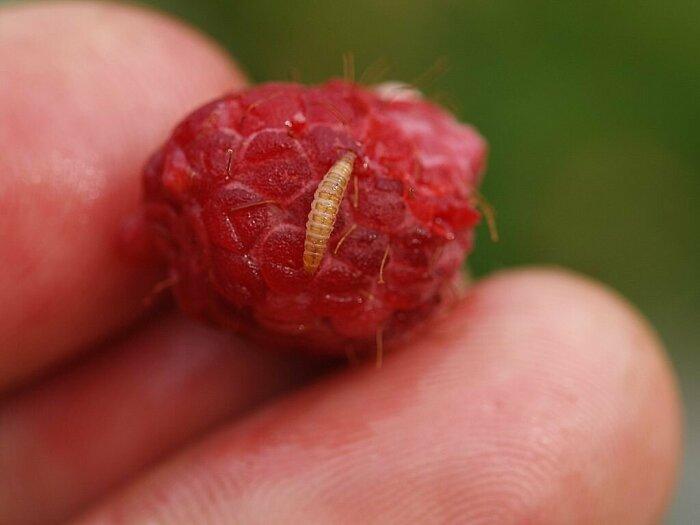 После обработки малины раствором нашатырного спирта ягоды будут меньше подвержены порче вредителями / Фото: v-ogorode.ru