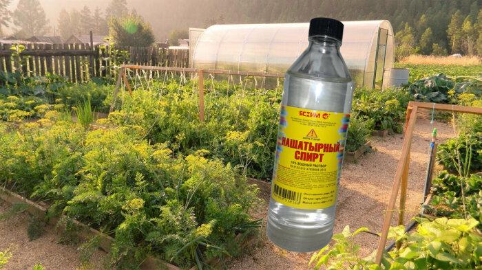 Нашатырный спирт - универсальное средство, хорошо знакомое не только огородникам / Фото: vosadu-li-vogorode.ru