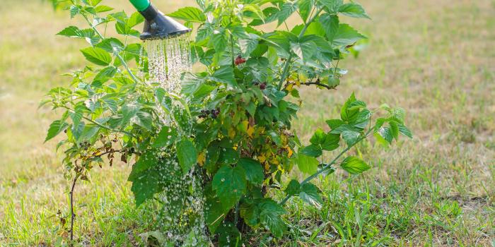 Вносить подкормку нужно в период активного цветения и появления завязи (первых маленьких ягодок) / Фото: ozon.ru